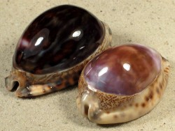Cypraea arabica *purple* 5,8+cm