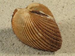 Anadara notabilis BR 3,8+cm