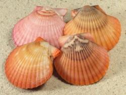 Aequipecten flabellum AO 3,3+cm