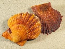 Scaeochlamys livida AU 5+cm