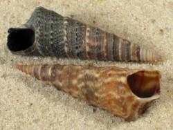 Turritella banksii PA 3+cm