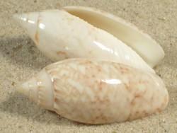 Oliva reticularis AW 3,5+cm