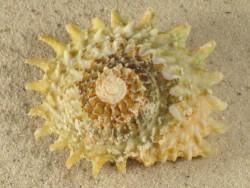 Lithopoma phoebium FR-Karibik 6+cm