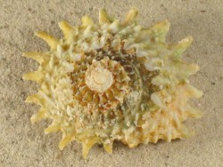 Astraea phoebia FR-Karibik 6+cm