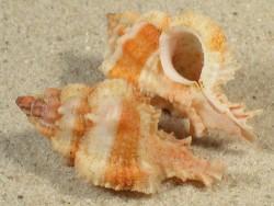 Chicomurex venustulus PH 4+cm
