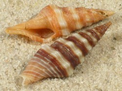 Ptychobela nodulosa TH 2+cm