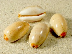Cypraea isabella PH 3+cm