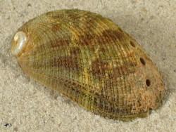 Abalone-Art Haliotis diversicolor squamata AU 3,9cm *Unikat*