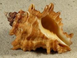 Vasum capitellum CW 4,5+cm