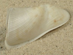 Trisidos tortuosa ID 6,5+cm