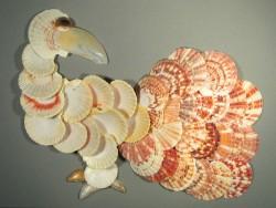 Macassar-Kamm-Muschel 1/2 4-6,5cm (x5)