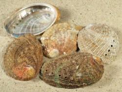 Abalone-Art Haliotis tuberculata tuberculata FR-Aquakultur 05+cm