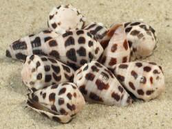 Conus ebraeus PH 2+cm