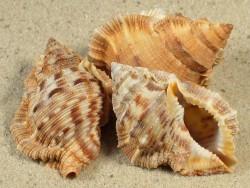 Bufonaria margaritula 3,5+cm