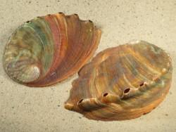 Schnecke Haliotis discus 9,5+cm