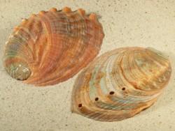 Haliotis gigantea 9,5+cm