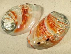 Abalone-Art Haliotis rufescens poliert 10+cm