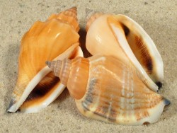 Canarium urceus *orange* 3,5+cm