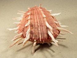 Muschel Spondylus regius PH 15+cm