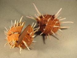 Spondylus regius PH 15+cm