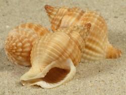 Nassaria pusilla IN 2,5+cm