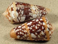 Conus ammiralis PH 4,9+cm
