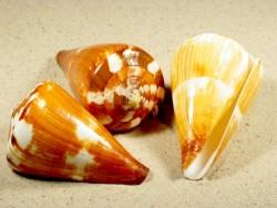 Conus vexillum 7,5+cm