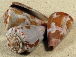 Conus purpurascens 3,5+cm