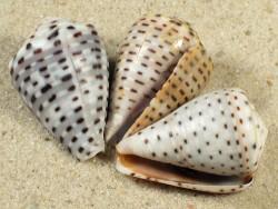 Conus taeniatus 2+cm