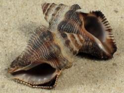 Ergalatax crassulnata AU 2,3+cm