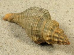 Lataxiena blosvillei PH 4+cm
