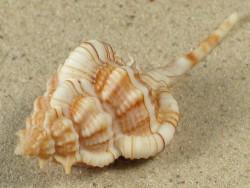 Vokesimurex gallinago m/O 7+cm