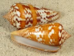 Conus janus 4,3+cm