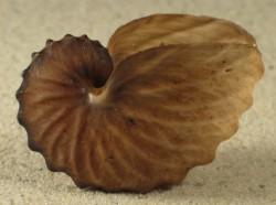 Argonauta hians 5+cm