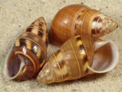 Amphidromus filozonatus ID 2,6+cm
