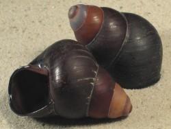 Cochlostyla daphnis f. cunctator PH 5+cm