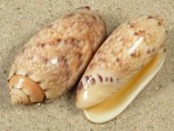 Oliva mantichora MZ 3,7+cm