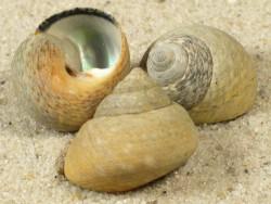 Phorcus lineatus PT 1,4+cm