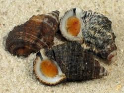 Clypeomorus subbrevicula m/Op ID 1,7+cm