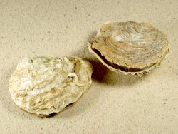 Ostrea edulis FR-Atlantik 5,5+cm