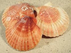 Aequipecten opercularis BE 5,5+cm