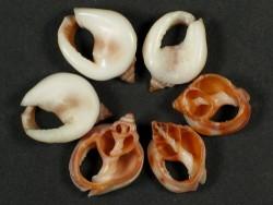 Nassarius bimaculosus Gehäuseschnitt