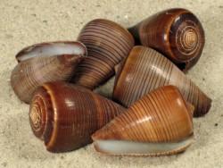 Conus figulinus 2,5+cm (x2)