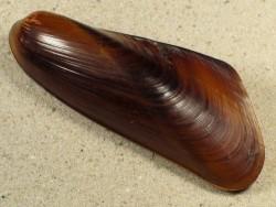 Jolya elongata PH 8,5+cm