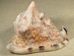 Cassis tuberosa 13,5+cm