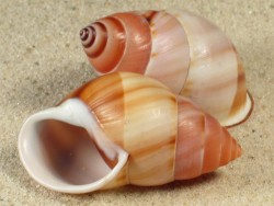 Amphidromus inversus annamiticus VN 4,5+cm