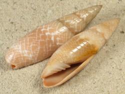 Scabricola fissurata MZ 3,5+cm