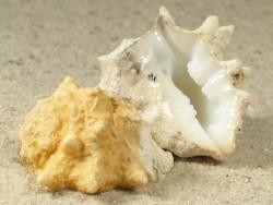Drupa ricinus lischkei EG 2,8+cm