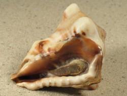 Vasum rhinoceros m/O KE 5+cm