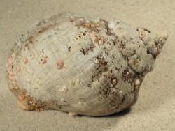 Stramonita haemastoma GM 8,5+cm